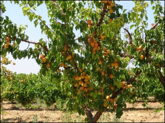 Cet arbre est un abricotier. Quelle est la sous-famille de cet arbre ?