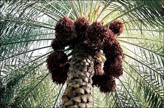 Quelle est la taille maximum de cet arbre, le Palmier-dattier ?