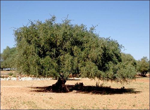 Cet arbre est un arganier. Quel est le nom scientifique de cet arbre ?