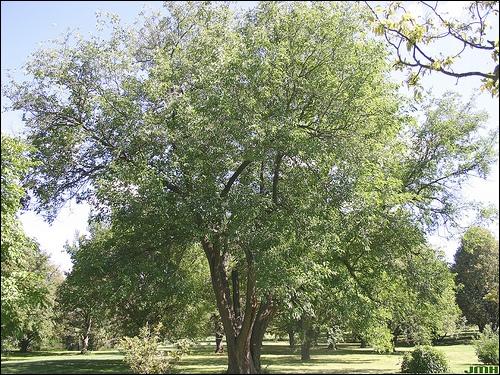 Cet arbre est un mûrier blanc. Quelle est la taille moyenne de ses feuilles ?