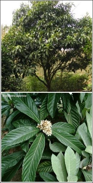 Cet arbre est un néflier du Japon. Quel est le nom de son fruit ?