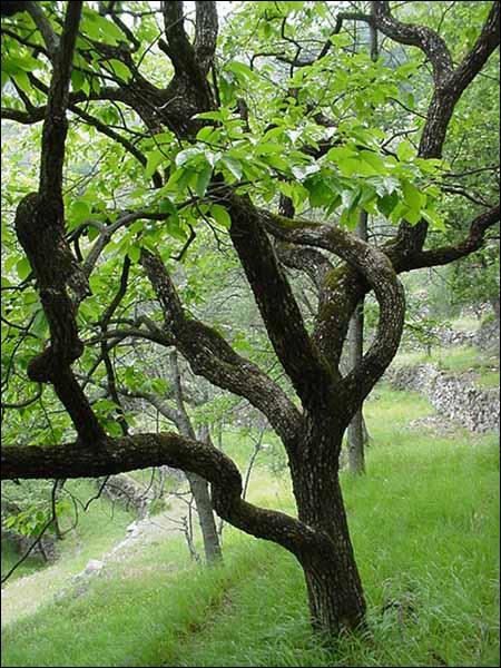 Le fruit de cet arbre est le kaki. Quel est le nom l'arbre ?
