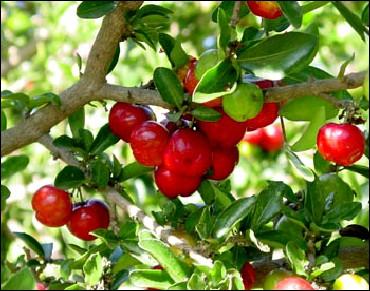 Cet arbre est un acérola. Quel est le nom du fruit qu'il produit ?