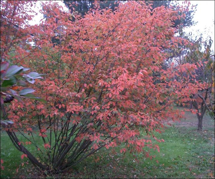 Ceci est un amélanchier. C'est un arbuste originaire d'Europe et...