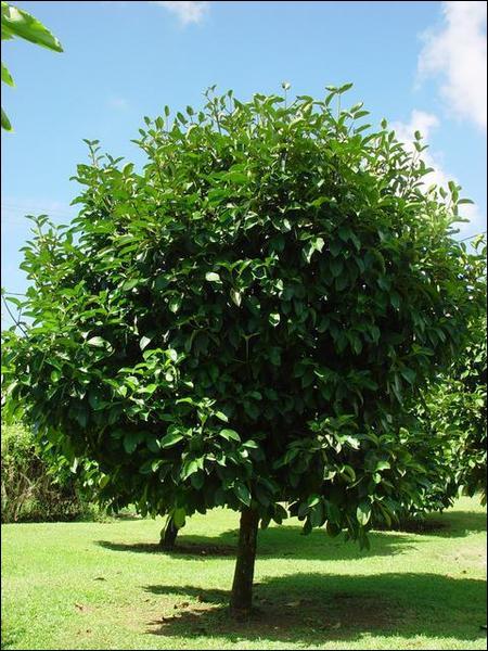 Cet arbre est un mangoustanier, et son fruit est un des fruits les plus riches en...