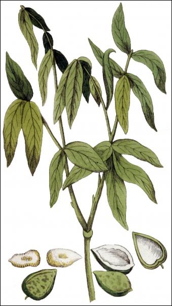 Lequel de ces arbres fait parti de la famille des Sapindaceae ?