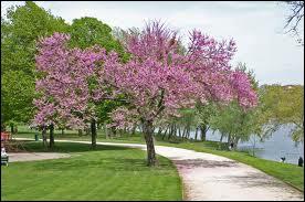 Comment appelle-t-on cette espèce d'arbre d'ornement ?