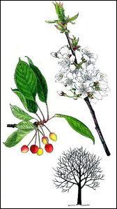 Quel arbre est aussi appelé 'cerisier des oiseaux' ou 'cerisier sauvage' ?