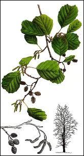 Arbre de l'hémisphère Nord poussant sur les sols humides. Quel arbre est parfois nommé 'vergne' ou 'verne' ?