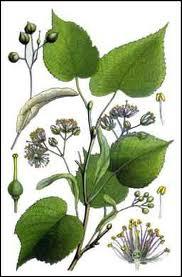 Je termine mon herbier en vous demandant le nom de cette espèce des régions temprérées d'Europe souvent plantée comme arbre d'alignement :