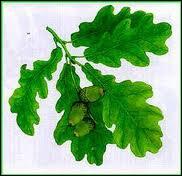 A quel arbre appartient cette feuille lobée caractéristique ?