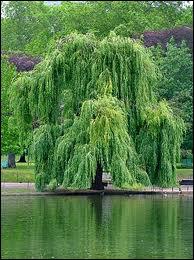 Quel est cet arbre facilement reconnaissable ?
