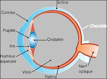 A quoi le cristallin est-il assimilé ?