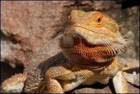 Je suis aussi un lézard et je vis dans le désert australien. Qui suis-je ?