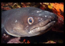 Le congre, animal très laid vivant dans les eaux profondes de l'Atlantique et de la Méditerranée, est un redoutable prédateur. Quel est son pouvoir secret ?