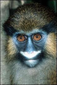 Je suis l'un des primates les plus colorés et je vis en Afrique tropicale. Je suis...