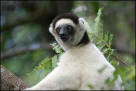 Le propithèque de Verraux, lémurien endémique de Madagascar, ...