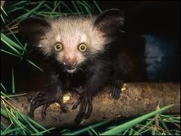 Moi aussi, je porte un nom rigolo. Lémurien nocturne de Madagascar, je me nomme...