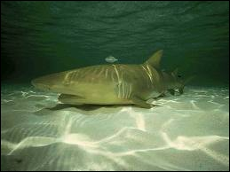 Requin des eaux subtropicales de couleur jaunâtre, on m'a nommé...