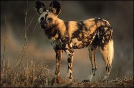 Canidé des steppes et savanes africaines, on m'a surnommé 'le loup peint' mais mon véritable nom est...