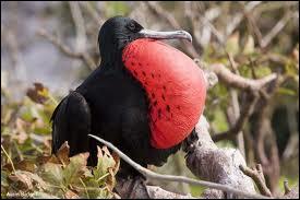 A la saison des amours, cet oiseau de mer gonfle une poche écarlate sous sa gorge pour séduire sa belle. Qui est-il ?
