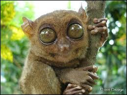 Petit singe arboricole, mes yeux sont plus lourds que mon cerveau, ce qui me permet de bien voir dans l'obscurité. Je suis...