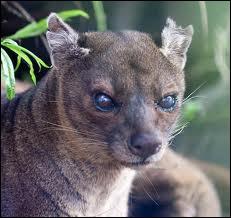 Toujours à Madagascar, savez-vous quel est le plus grand prédateur de l'île ?