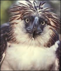 Cet aigle qui vit dans les forêts tropicales des Philippines porte aussi le nom d'un autre animal...