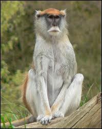 Le patas ou singe rouge des savanes africaines court très vite. Il peut atteindre...