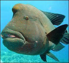 Vivant dans les récifs de coraux du Pacifique et de l'océan indien, il naît femelle puis se transforme en mâle. Ce poisson porte le nom d'un empereur célèbre. Lequel ?