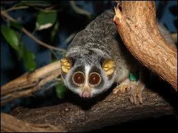 Le loris grêle, ce petit primate asiatique, est réputé pour...