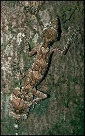 Comment est également appelé le gecko à queue plate qui vit dans les forêts humides de Madagascar ?