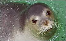 Jusqu'à combien de kilos de poisson par jour peut avaler un phoque-moine de Méditerranée ?