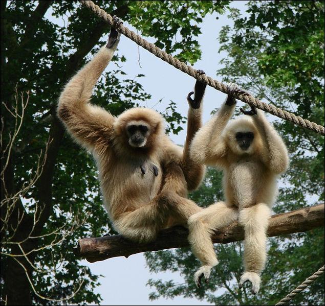 Le gibbon est un singe anthropoïde vivant en Asie. Quelle est sa particularité ?