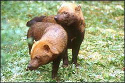 Quel est ce canidé de 5 à 7 kg appelé aussi spéothos, vivant en Afrique centrale et du sud, et en forêt guyannaise qui vit en groupe ?