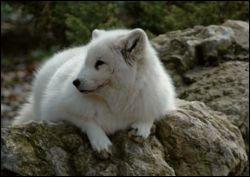 Quel est ce majestueux canidé des régions arctiques qui fut longtemps chassé pour sa fourrure ?