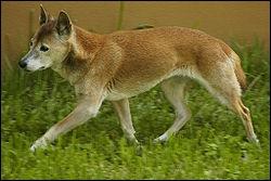 Quel est ce canidé de Nouvelle Guinée, chien domestique retourné à l'état sauvage, indressable en raison du fait qu'il dévore ses proies ?