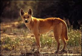 Quel est ce descendant du loup, prédomestiqué par l'homme puis retourné à l'état sauvage, vivant en Australie ?