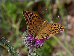 quizz oh les papillons quiz photos races papillons. Black Bedroom Furniture Sets. Home Design Ideas