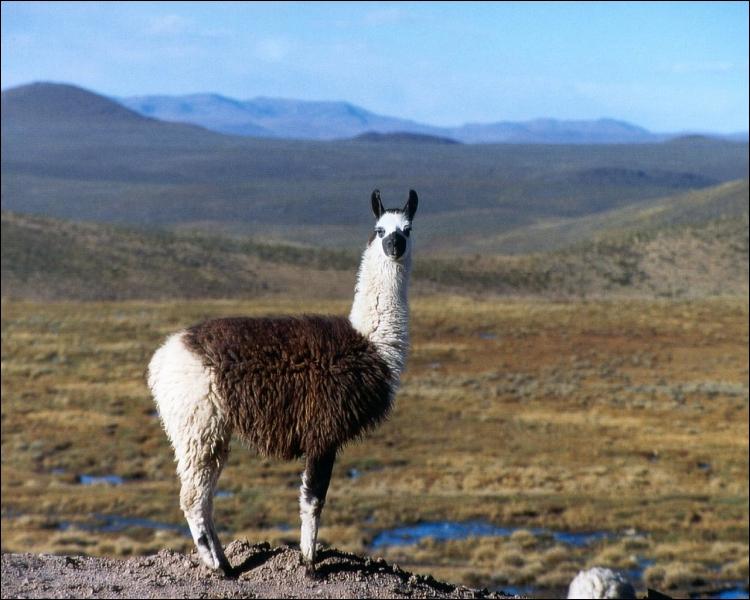 Cet animal est réputé pour cracher dès qu'il se sent en danger. Sa laine peut également servir pour faire des vêtements. C'est :