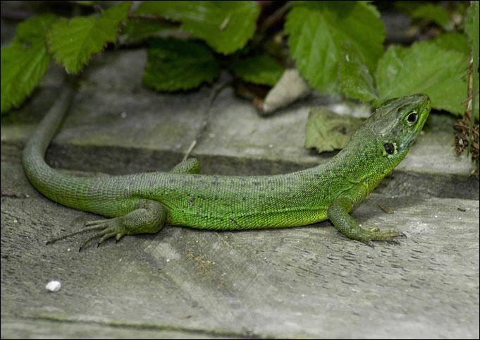 Ce petit reptile peut perdre sa queue en cas de danger. Elle repousse par la suite, mais après elle ne pourra plus s'arracher. Ce petit animal dont je veux parler est :