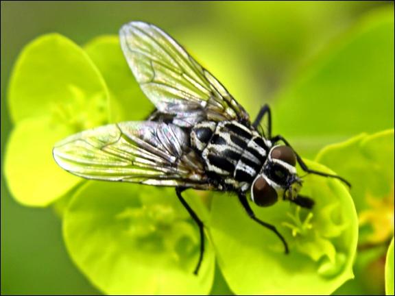 Je pense que cet insecte est le plus connu. Il en existe 34 espèces à travers le monde :