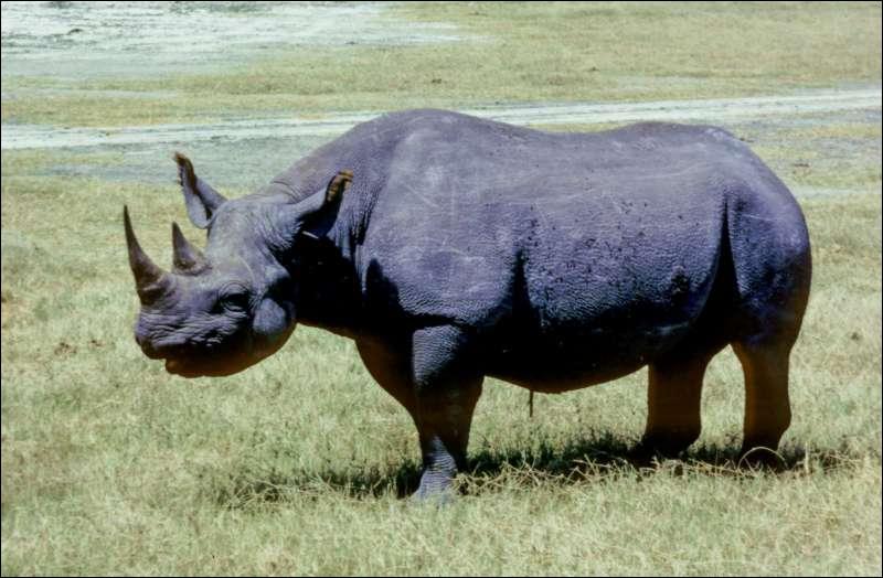 Ce rhinocéros est :