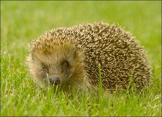 Ce petit mammifère hérissé de piquants, est surtout insectivore et il est réputé pour 'avoir des puces'. Cet animal est :