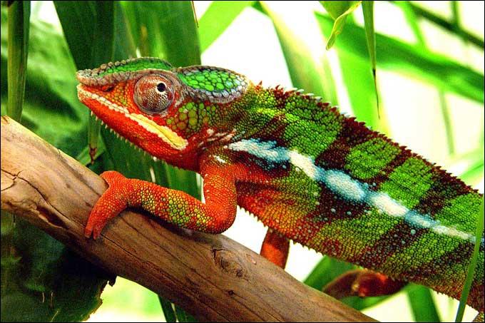 Comment s'appelle ce reptile qui peut bouger indépendamment ses yeux et qui a une longue langue gluante ?
