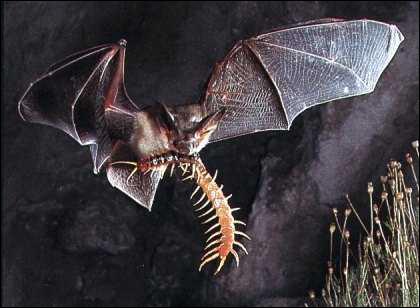 Ce mammifère est le seul à pouvoir voler. Il est plutôt nocturne et mange des insectes. Il s'agit de :