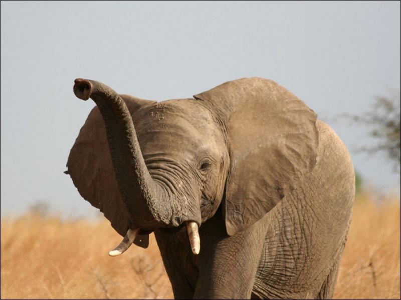 Ce mammifère qui vit dans la savane africaine est reconnaissable grâce à ses grandes oreilles qui lui servent de d'éventails. Cet animal dont je veux parler est :