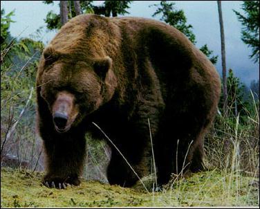 Que fait le grizzly ?
