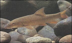 Je suis un poisson benthique aimant le courant. Qui suis-je ?
