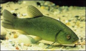 On me nomme aussi 'le poisson médecin'. Qui suis-je ?